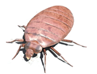 Bed Bug Control, Bed Bug Pest, Bed Bug Removal