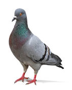 Bird Control West Wickham, Bird Pest West Wickham, Bird Removal West Wickham, Pigeon Control West Wickham, Pigeon Pest West Wickham, Pigeon Removal West Wickham