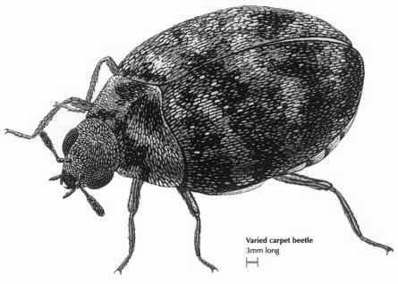 Carpest Beetles