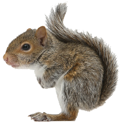Squirrel Control Catford SE6, Squirrel Pest Catford SE6, Squirrel Removal Catford SE6