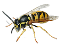 Wasp Control Orpington , Wasp Pest Orpington , Wasp Removal Orpington